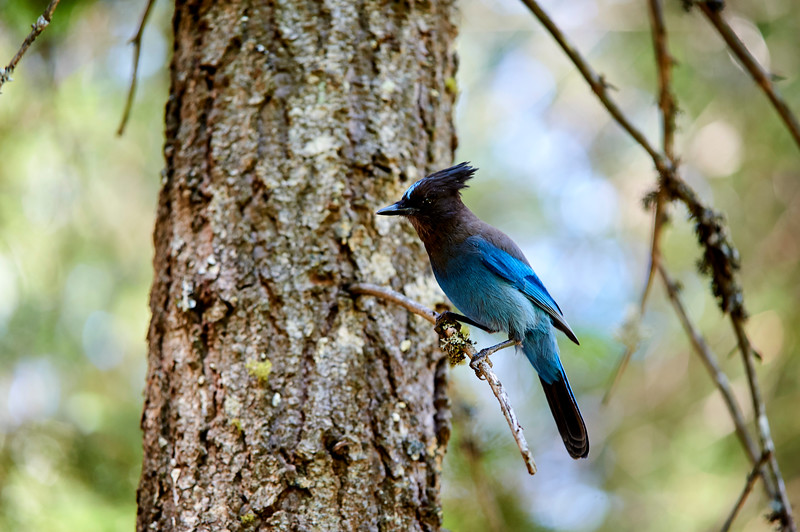A Steller's Jay near Mirror Lake in Yosemite National Park.