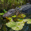 Alligator on waterlilies