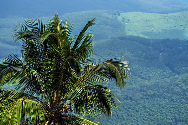 Palm tree in the western Ghats
