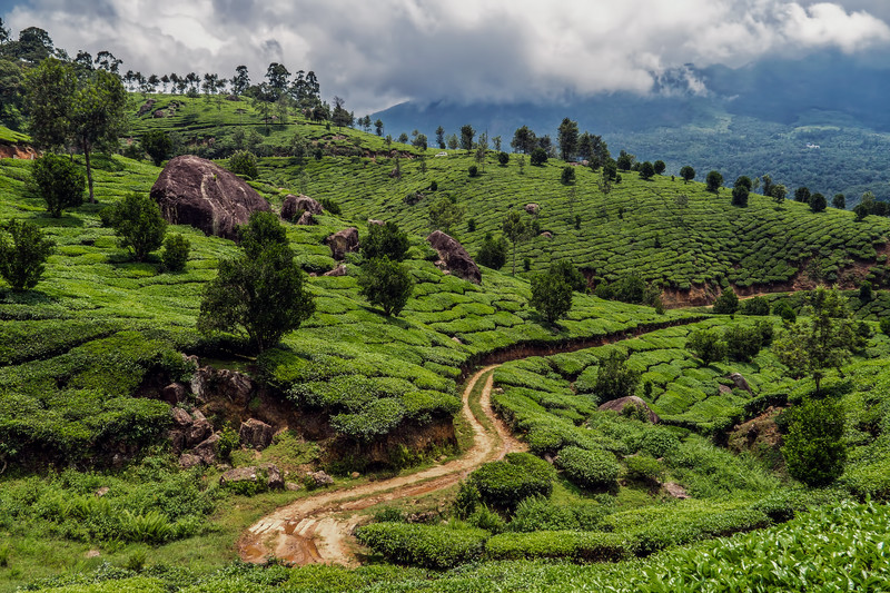 Teaplantation in Munnar, Tea plantation in the hills around Munnar on a cloudy day., Anayirankal Dam, Munnar, Kerala, India; © Joerg Muehlbacher