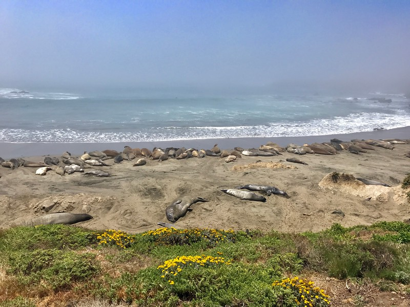 Elephant Seals rest along the California coast.