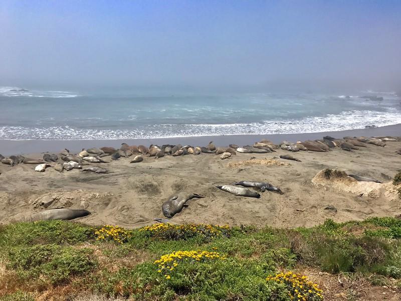 Elephant Seals rest along the California coast.