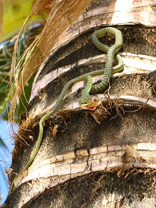 snake eating a gecko