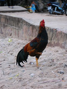 this rooster came out of nowhere and insisted that i take his picture