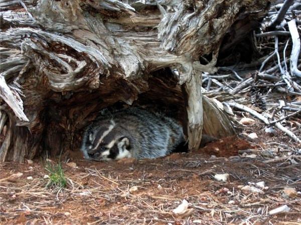 Badger along the trail in Utah