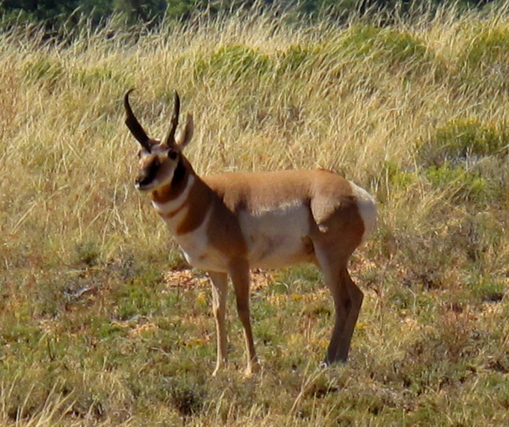 Prong Horn, Antelope