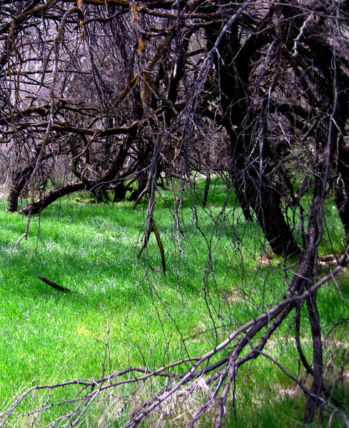 Mesquite trees along the Verde River.