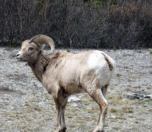 Big Horn Sheep, Banf National Park Canada