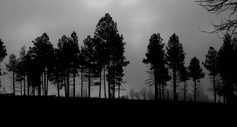Foggy Trees, Flagstaff Arizona