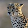 cheetah in Samburu, Kenya