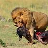 Male lion bringing home dinner (a gnu