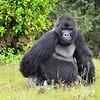 mountain gorilla silverback in the Virunga Volcanic mountains of Rawanda