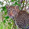 leopard in Masai Mara