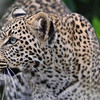 "leopard cub (eye color hasn""t changed) in Masai Mara"