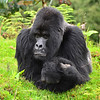 Guhonda, the largest mountain gorilla in Rawanda (almost 500 pounds, 40 years old