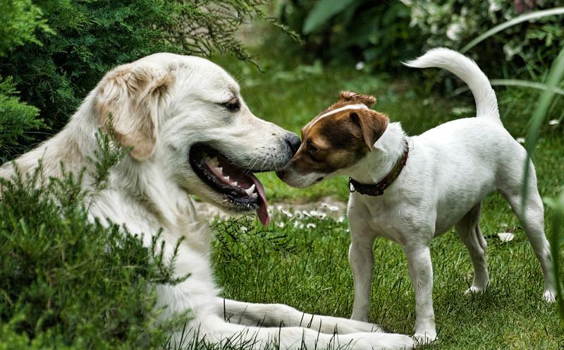 Love at first bite. Pippa, our Jack Russell Terrier is smitten with her new boyfriend, next door neighbour's Golden Retriever, Oscar. July 26.