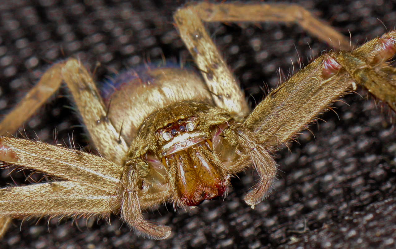 April 21<br /> <br /> The quick and agile huntsman spider captured in a bag for a few quick shots. He got a bit irritated with the flash and was released into the wilds of the backyard.