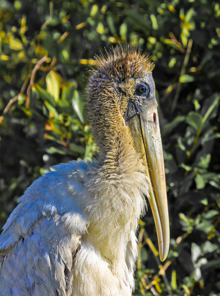 Juvenile wood stork parked down by the drainage ditch today. He/she let me get quite close for several shots of the lovely visage. They are wonderfully gawky and unattractive.