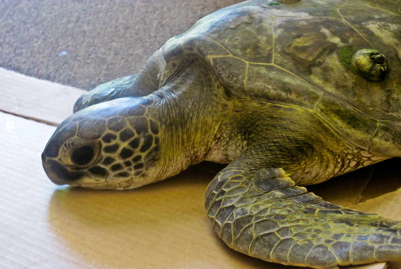 Oct 2<br /> This endangered green sea turtle was hit by a boat prop and injured on its carapace. Here he is in our office awaiting officials to pick him up for rehabilitation. I think he is our resident marina turtle, Barney. He was quite lively swimming around our office floor so I have confidence he will be okay.