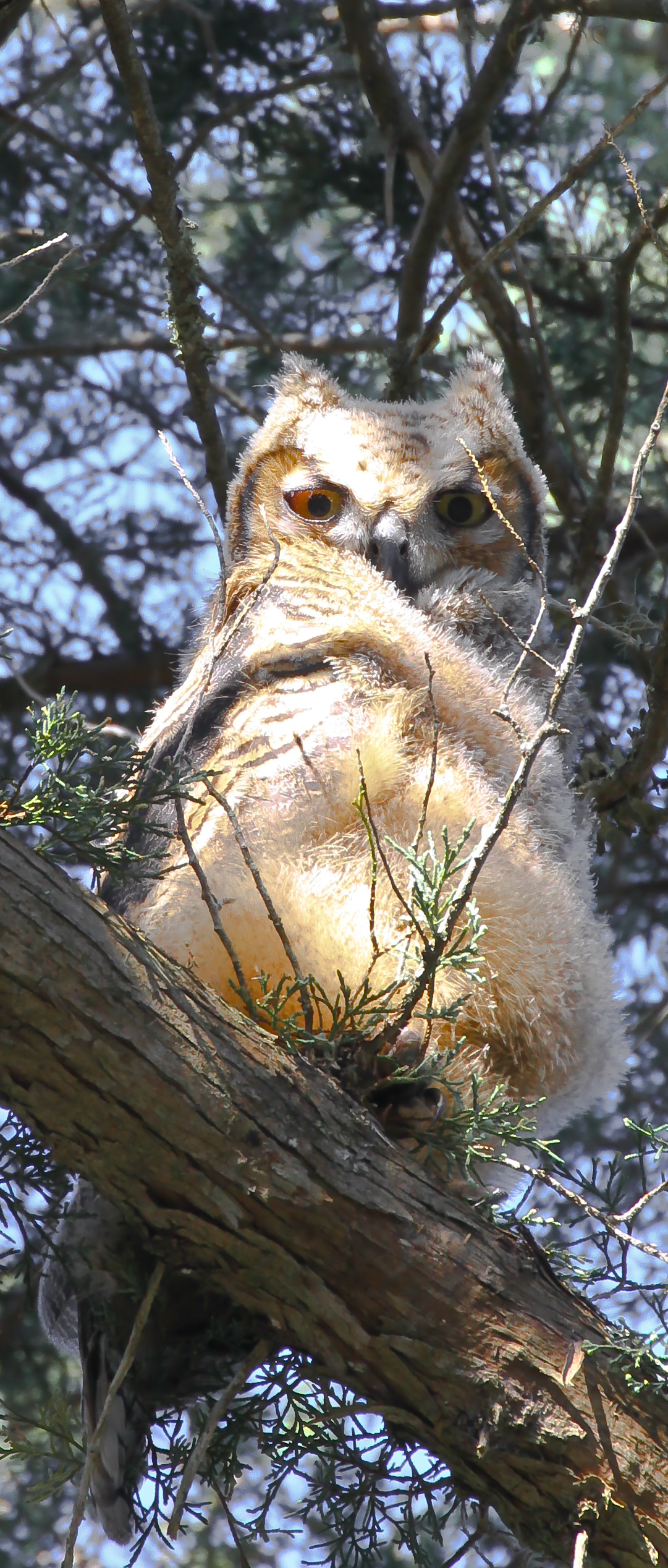 "April 1.<br /> <br /> Down at Fort Matanzas the (baby) Big Horned Owl looks down with sleepy, disdainful and perhaps slightly amused (?) expression. Not exactly ""cute"" but very fluffy and growing swiftly into his regalia."