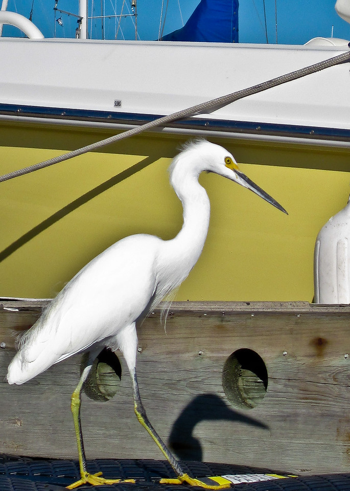 "Nov. 13 <br /> Two kayak trips today. Lots of tip money so ""Yea"" for that. This showy snowy egret with shadow was guarding our spot at the dock and did NOT appreciate our return. We evidently have the best fishing spot in the marina. My first two-trip day and I am a tired puppy tonight."