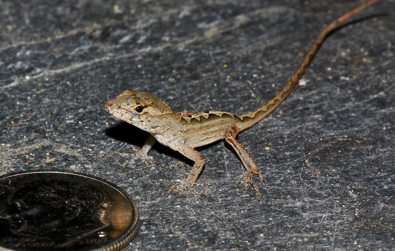 "NOV 23<br /> This baby cuban anole is an invasive species out-competing our local anoles evidently; and we are called upon to get rid of them. I could never do it. Look how tiny it is. It is stupid how cute it is. I have decided to just live and let live with these ""invasive"" critters."