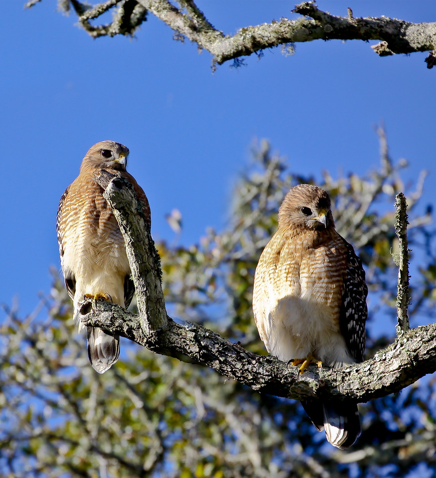Dec.18 2011<br /> <br /> On a crisp cool December morning, this pair perches above us. A morning sun bath warms them for the business of the day. They preened and napped and watched us watch them for a good 20 minutes. Perhaps with a bit of envy on both sides?