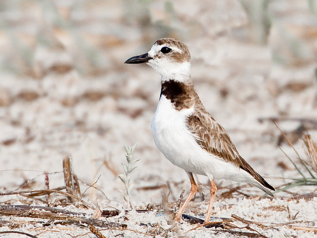 June 17<br /> <br /> Sweet plover from this morning's adventure.