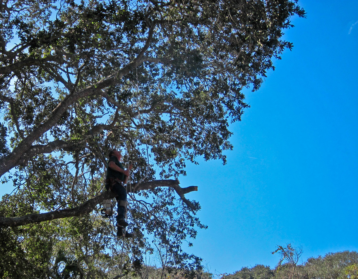 "...cont.<br /> <br /> The live oak in the back yard is getting a needed trim (had many split ends). This guy was one crazy monkey-man... After this picture was shot, he stood up on the branch and walked back to the main trunk slicing off sections of the branch along the way, wielding the chainsaw as if it were his own appendage. And I kept thinking of the book The Giving Tree. ""And the tree was happy"". Yikes. Don't think about it!<br /> Concrete slab gets poured tomorrow."