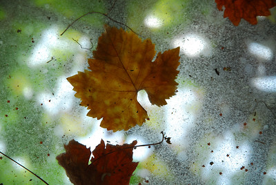 Vine leaves, Hampton Court