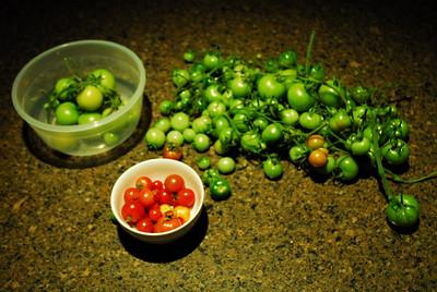 Tomato Crop 2011