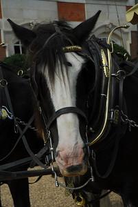 Shire Horse, Hampton Court