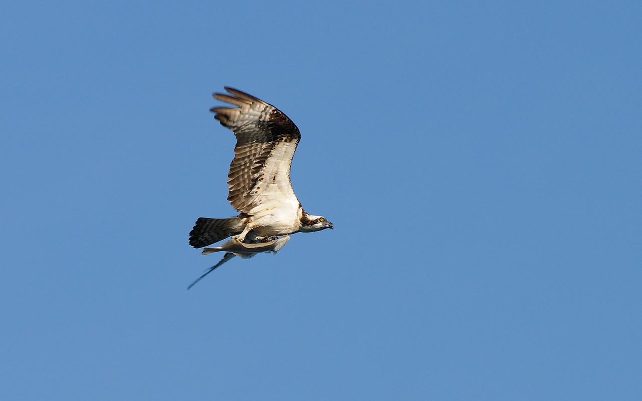 6/11/10 Osprey, bayside near the Coast Guard Station this morning. Cropped rather heavily.......