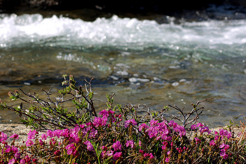 The splashes of red-purple flowers that surround me are Mountain Heather; they bloom from June through August.