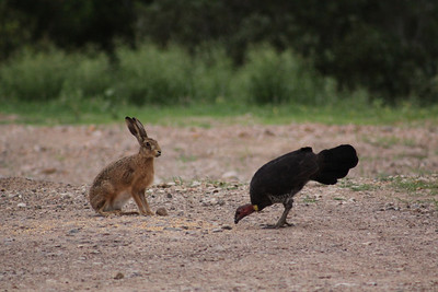 Hare & bush turkey cleaning up grain spilt by the horses.