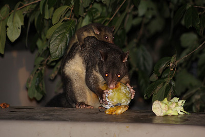 Wild Mountain brushtail possum (also known as a 'bobuk') and her youngster, having dinner.