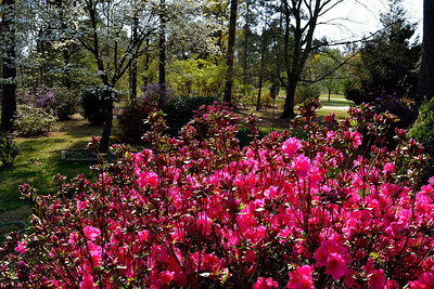 Pink Spring in South Carolina especially for Madelyn Park