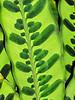 """""""Rattlesnake"""" plant."""