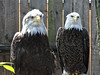 Eagles at the amazing National Aviary.