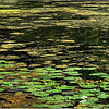 Ward Pond., Olmsted Park. June, 2020.