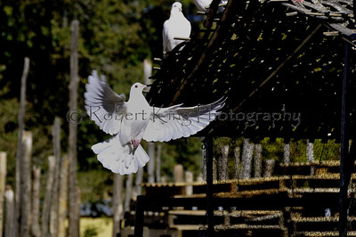 One of many cared-for and free-to-leave White pigeons that live at Jackalopes, Santa fe, NM  Jackelopes is an exciting, unique experience.  Among other things, see artifacts from all over the world that are offered for sale here.  If you get there in the Spring through Summer you will be able to enjoy the little Prairie Dog town that is fully protected and inside Jackelopes