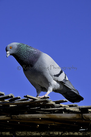 pigeon at Jackalopes, Santa fe, NM