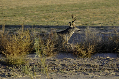 Mule deer (Odocoileus hemionus), Bosque del Apache NWR, NM