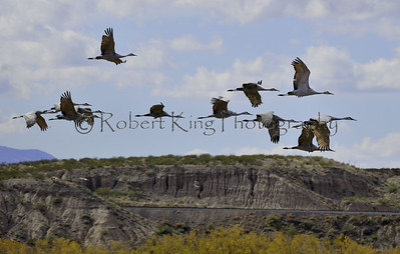 Sandhill Cranes (Grus canadensis), Bosque del Apache NWR, NM