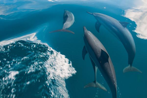 Fiji Dolphins