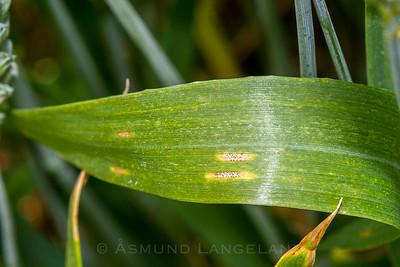 Hvetebladprikk (Septoria tritici)