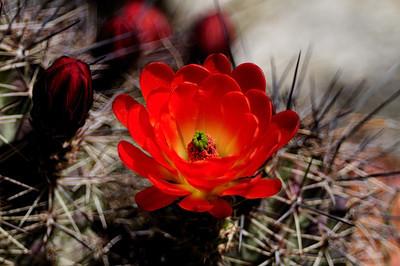 Hedgehog or Claret Cup Cactus (Echinocereus)