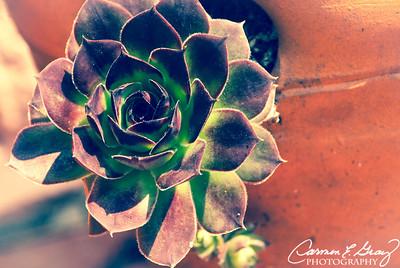 Rose Cactus  Taken March 17, 2012