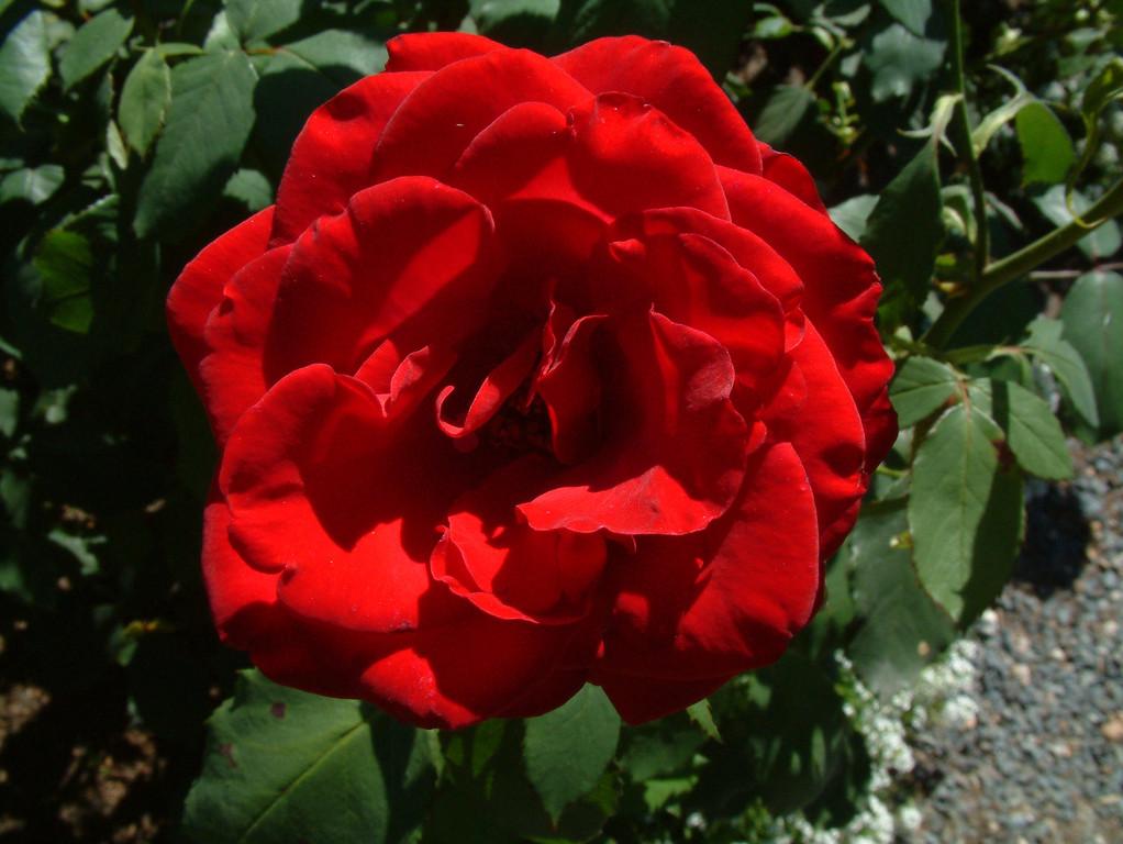 A rose, I think.