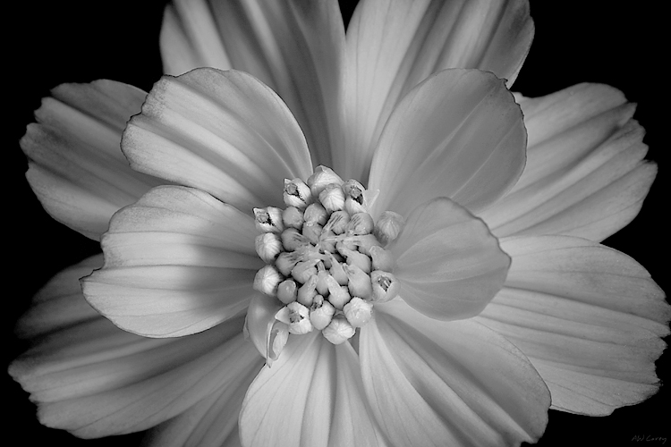 Orange Sunburst BW  A very orange flower - seen without color.